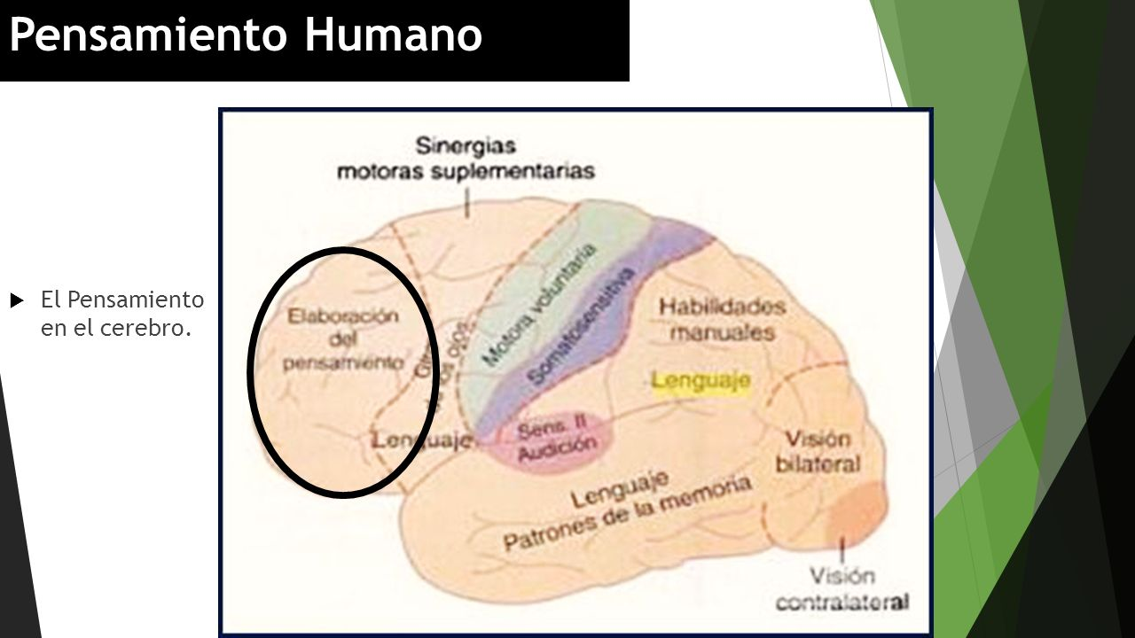 Pensamiento Humano El Pensamiento en el cerebro.