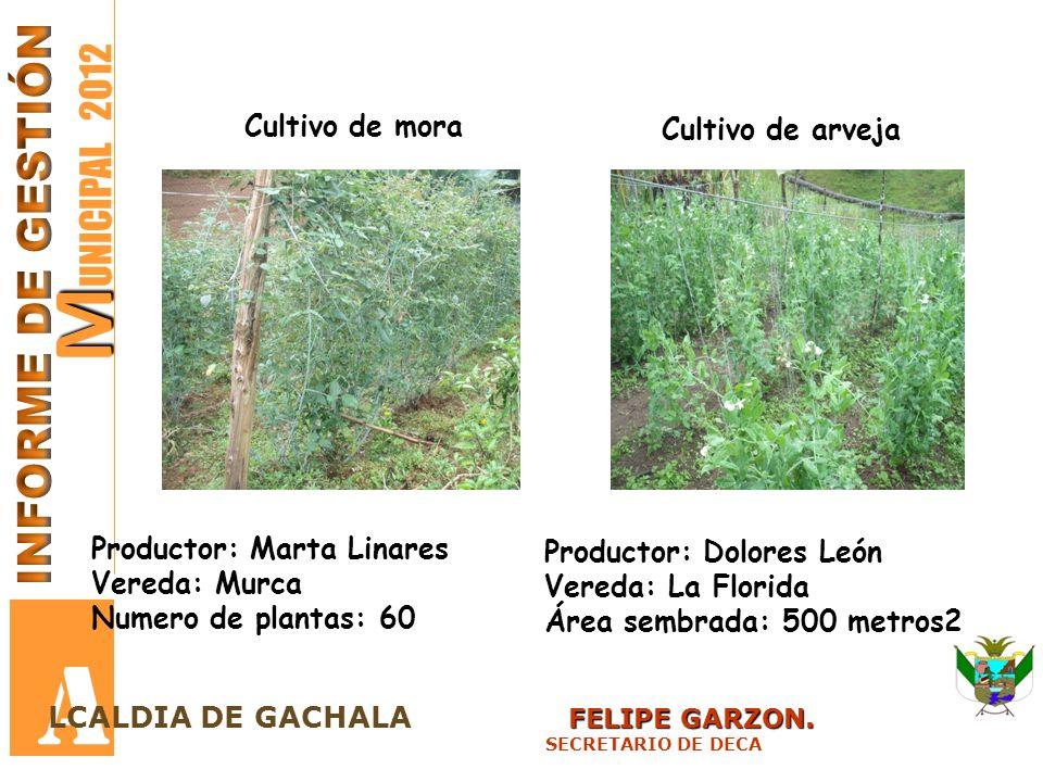 A MUNICIPAL 2012 INFORME DE GESTIÓN Cultivo de mora Cultivo de arveja
