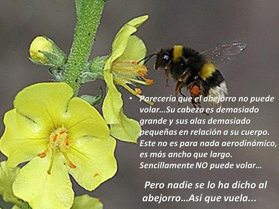 Parecería que el abejorro no puede volar…Su cabeza es demasiado grande y sus alas demasiado pequeñas en relación a su cuerpo. Este no es para nada aerodinámico, es más ancho que largo. Sencillamente NO puede volar…