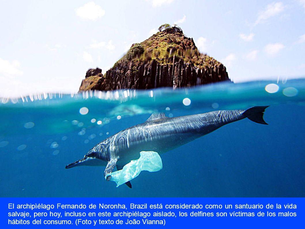 El archipìélago Fernando de Noronha, Brazil está considerado como un santuario de la vida salvaje, pero hoy, incluso en este archipiélago aislado, los delfines son víctimas de los malos hábitos del consumo.