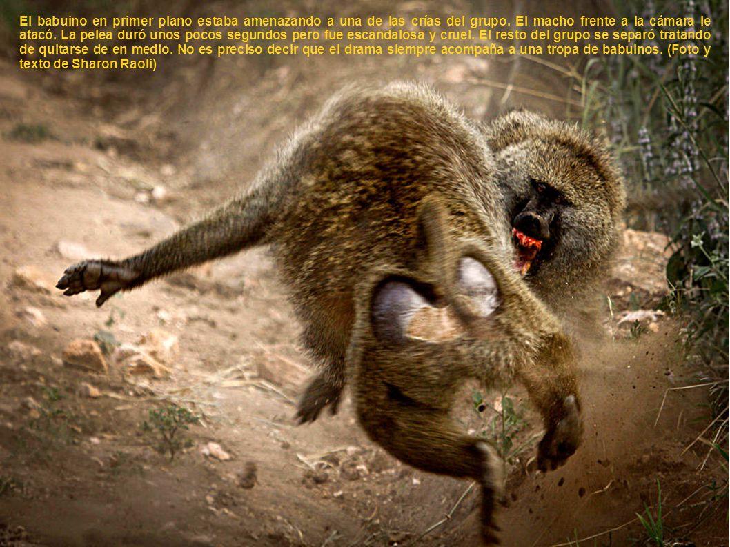 El babuino en primer plano estaba amenazando a una de las crías del grupo.