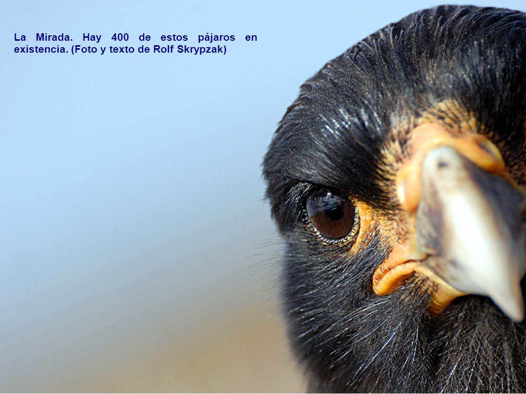 La Mirada. Hay 400 de estos pájaros en existencia