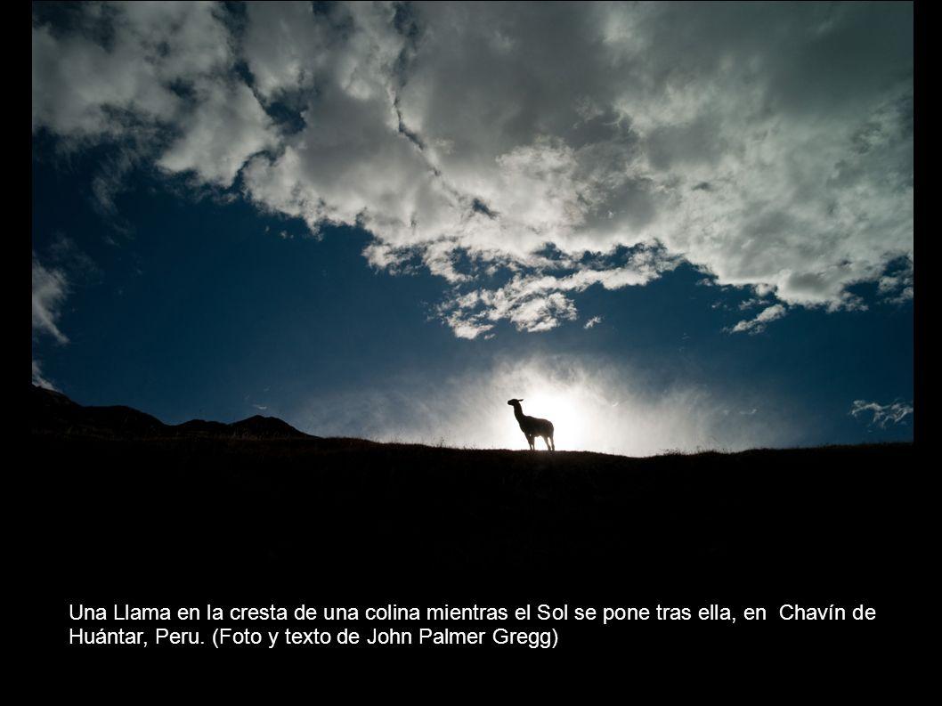 Una Llama en la cresta de una colina mientras el Sol se pone tras ella, en Chavín de Huántar, Peru.