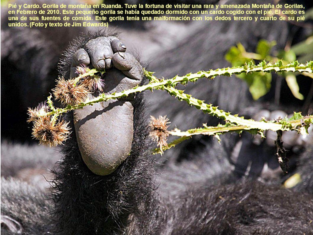 Pié y Cardo. Gorila de montaña en Ruanda