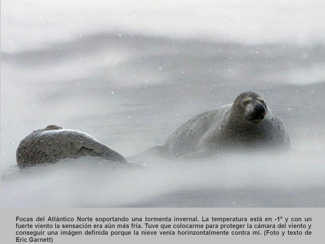 Focas del Atlántico Norte soportando una tormenta invernal