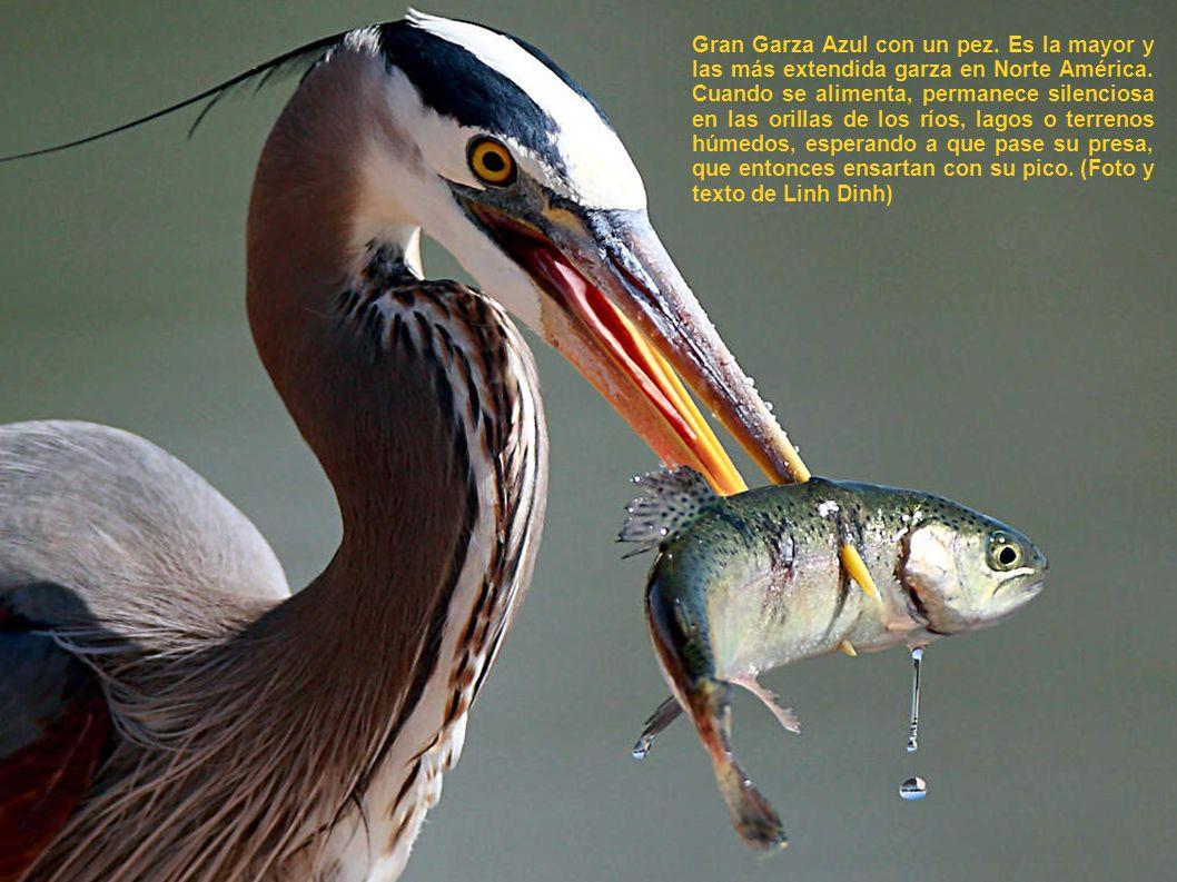Gran Garza Azul con un pez