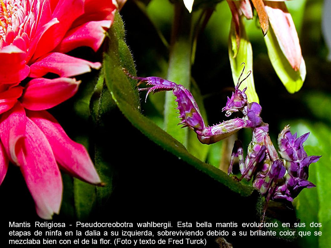 Mantis Religiosa - Pseudocreobotra wahlbergii