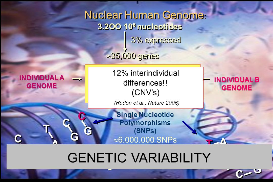 GENETIC VARIABILITY Nuclear Human Genome: C G A T