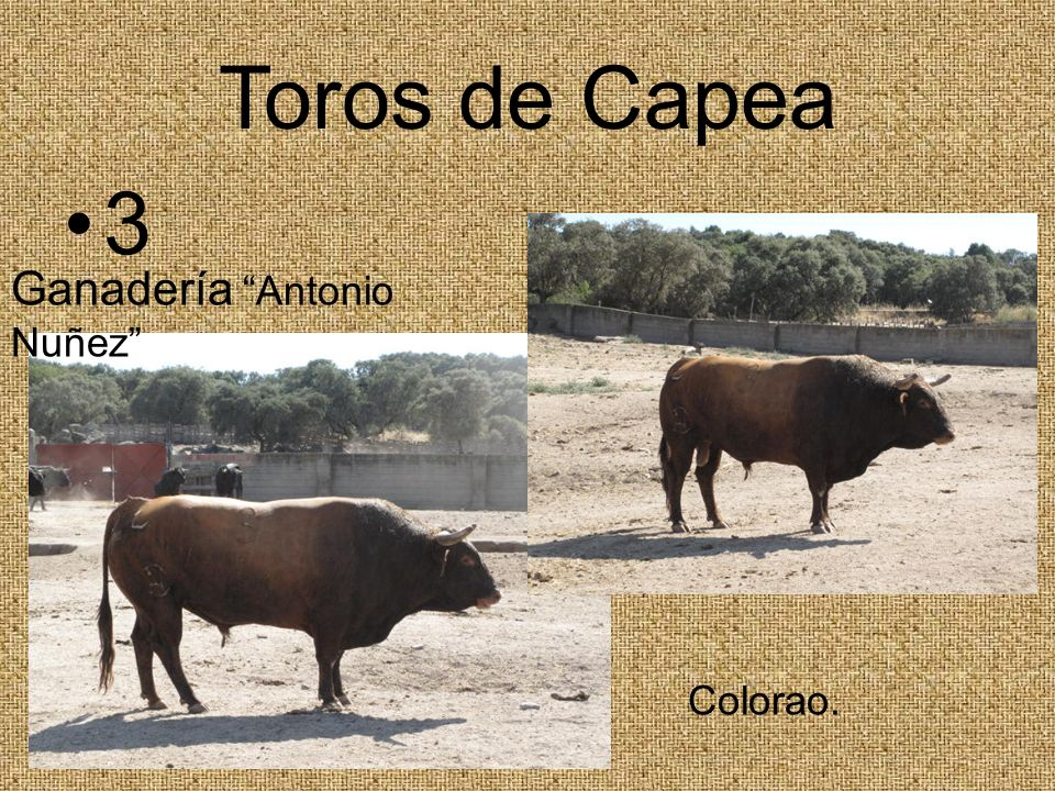Toros de Capea 3 Ganadería Antonio Nuñez Colorao.