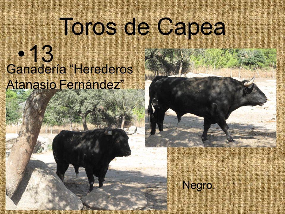 Toros de Capea 13 Ganadería Herederos Atanasio Fernández Negro.