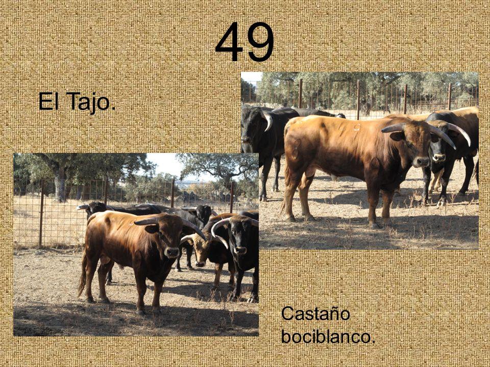 49 El Tajo. Castaño bociblanco.