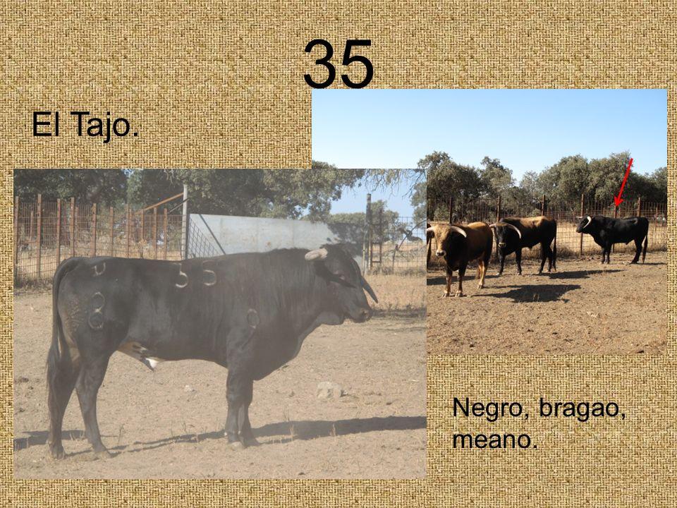 35 El Tajo. Negro, bragao, meano.