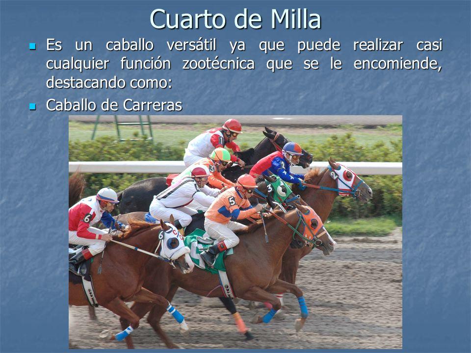 Cuarto de Milla Es un caballo versátil ya que puede realizar casi cualquier función zootécnica que se le encomiende, destacando como: