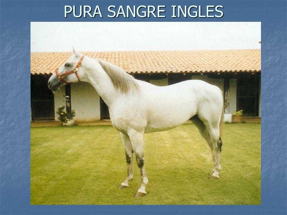 PURA SANGRE INGLES