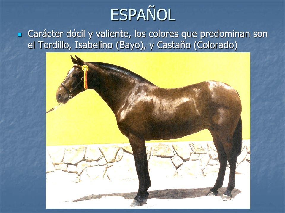 ESPAÑOL Carácter dócil y valiente, los colores que predominan son el Tordillo, Isabelino (Bayo), y Castaño (Colorado)