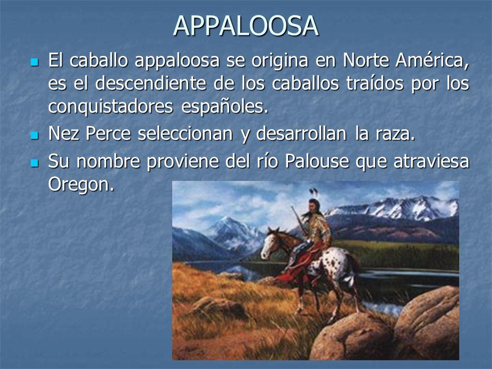APPALOOSA El caballo appaloosa se origina en Norte América, es el descendiente de los caballos traídos por los conquistadores españoles.