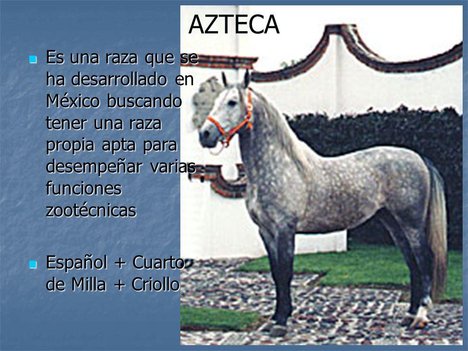 AZTECA Es una raza que se ha desarrollado en México buscando tener una raza propia apta para desempeñar varias funciones zootécnicas.