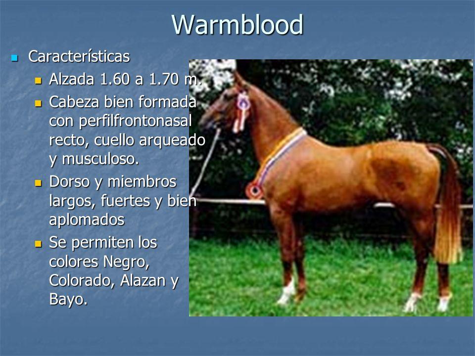 Warmblood Características Alzada 1.60 a 1.70 m.