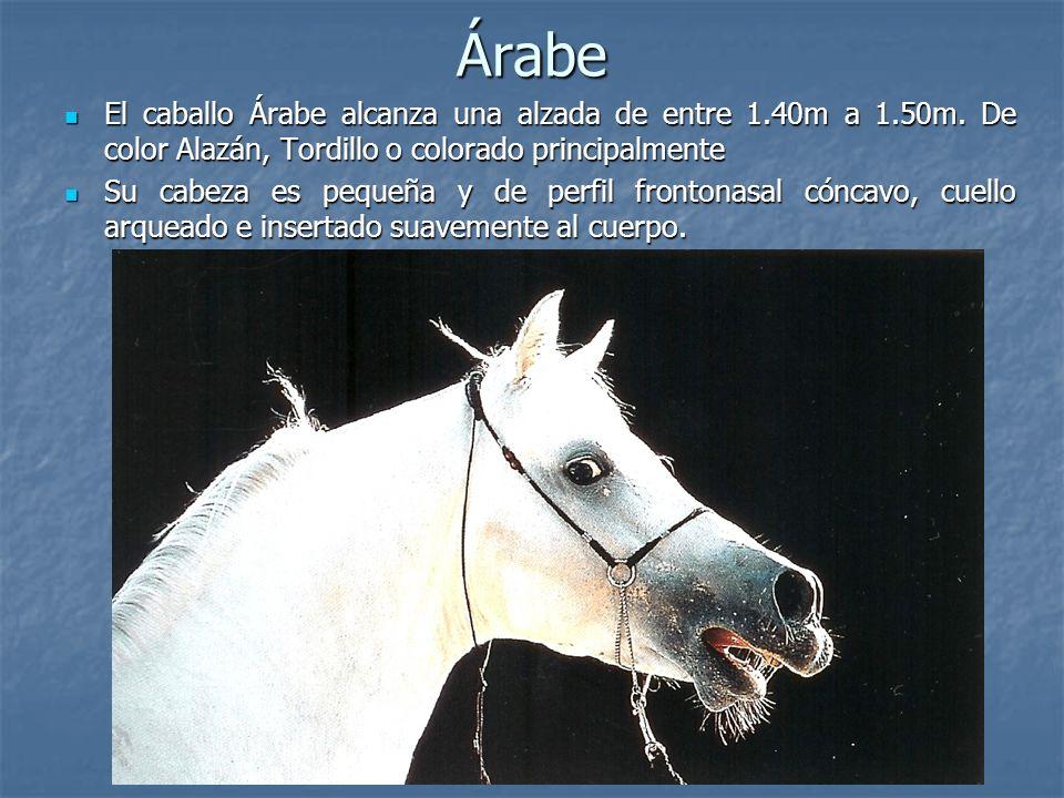 Árabe El caballo Árabe alcanza una alzada de entre 1.40m a 1.50m. De color Alazán, Tordillo o colorado principalmente.