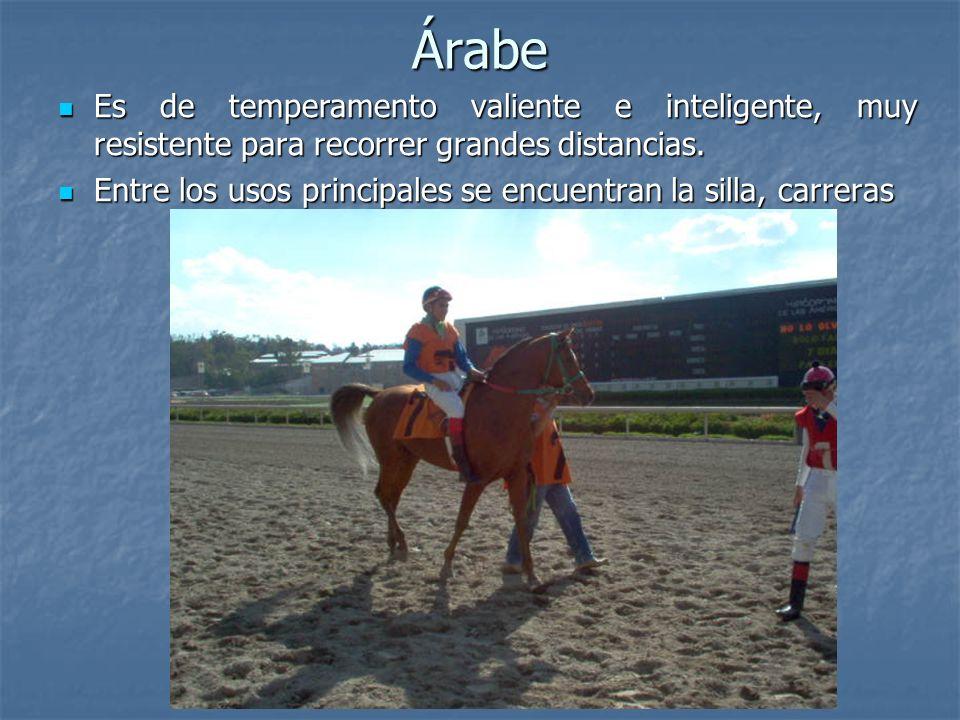Árabe Es de temperamento valiente e inteligente, muy resistente para recorrer grandes distancias.