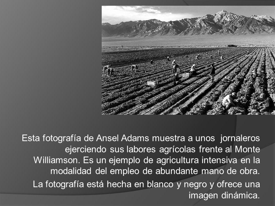 Esta fotografía de Ansel Adams muestra a unos jornaleros ejerciendo sus labores agrícolas frente al Monte Williamson. Es un ejemplo de agricultura intensiva en la modalidad del empleo de abundante mano de obra.