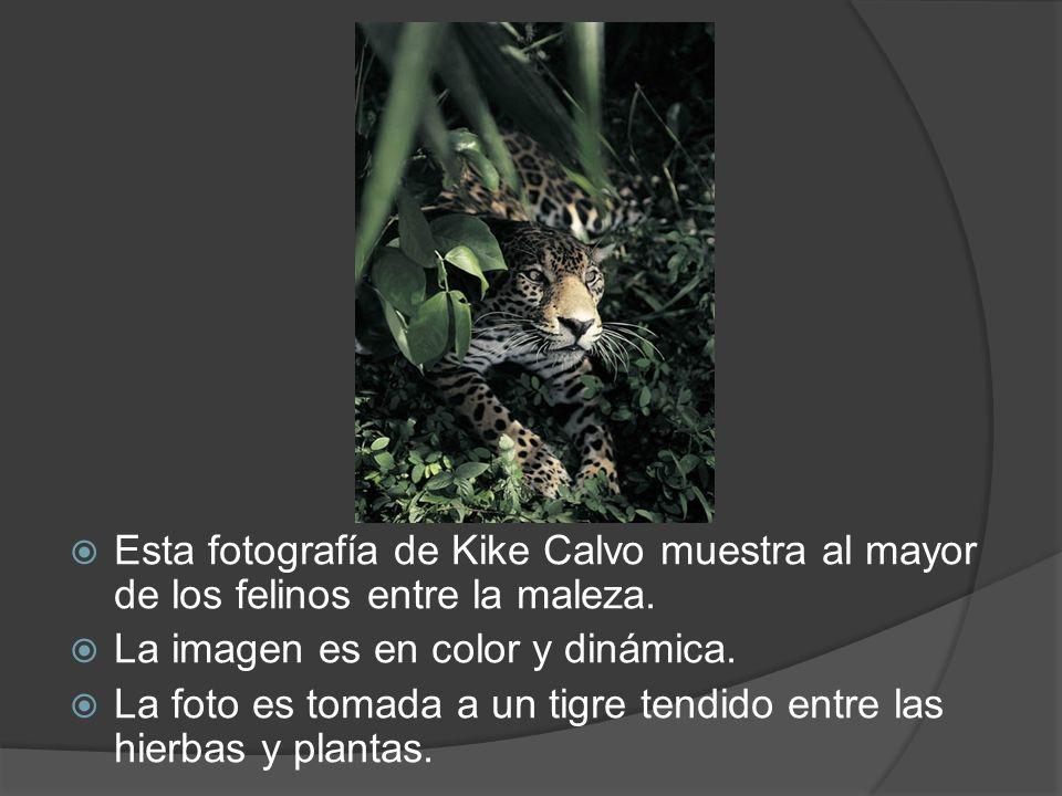 Esta fotografía de Kike Calvo muestra al mayor de los felinos entre la maleza.