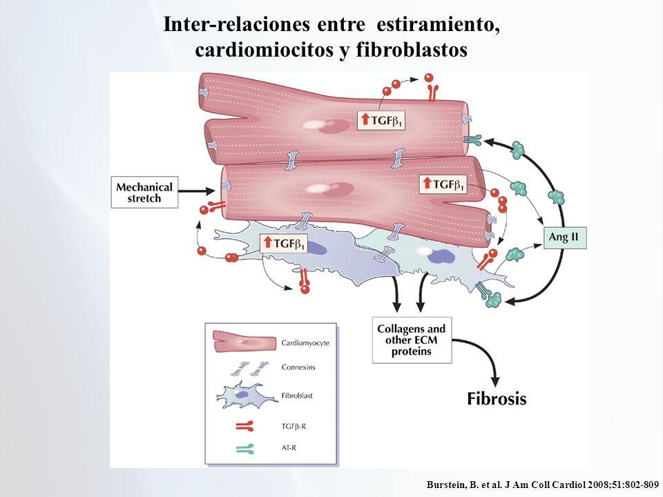 Inter-relaciones entre estiramiento, cardiomiocitos y fibroblastos
