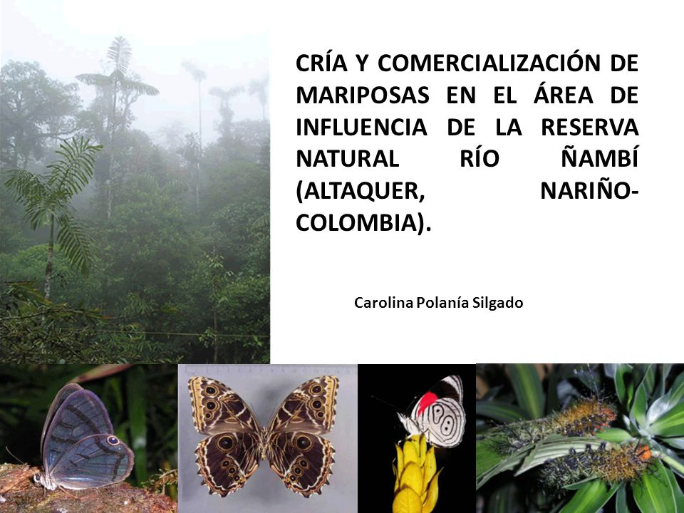 CRÍA Y COMERCIALIZACIÓN DE MARIPOSAS EN EL ÁREA DE INFLUENCIA DE LA RESERVA NATURAL RÍO ÑAMBÍ (ALTAQUER, NARIÑO-COLOMBIA).