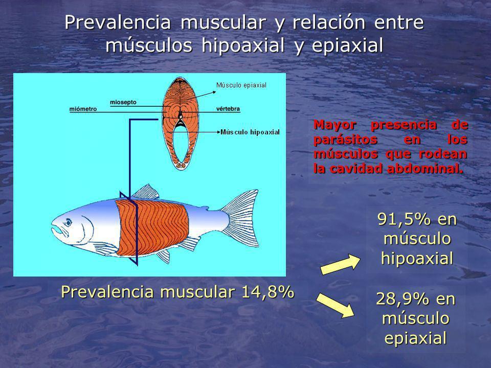 Prevalencia muscular y relación entre músculos hipoaxial y epiaxial