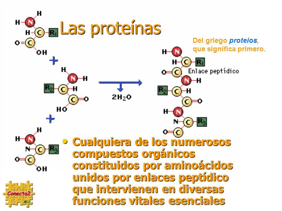 Las proteínas Del griego proteios, que significa primero.