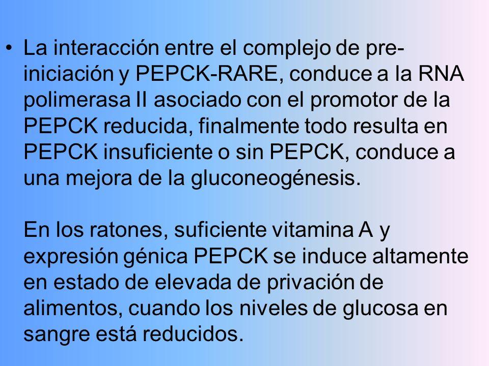 La interacción entre el complejo de pre-iniciación y PEPCK-RARE, conduce a la RNA polimerasa II asociado con el promotor de la PEPCK reducida, finalmente todo resulta en PEPCK insuficiente o sin PEPCK, conduce a una mejora de la gluconeogénesis.
