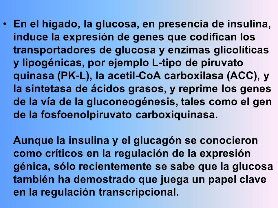 En el hígado, la glucosa, en presencia de insulina, induce la expresión de genes que codifican los transportadores de glucosa y enzimas glicolíticas y lipogénicas, por ejemplo L-tipo de piruvato quinasa (PK-L), la acetil-CoA carboxilasa (ACC), y la sintetasa de ácidos grasos, y reprime los genes de la vía de la gluconeogénesis, tales como el gen de la fosfoenolpiruvato carboxiquinasa.
