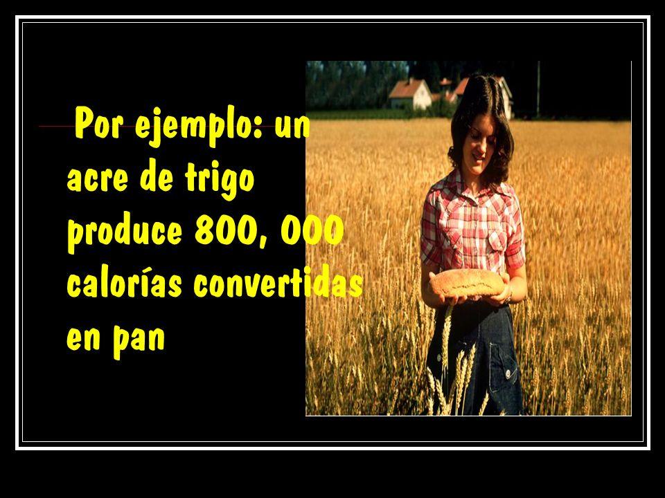 Por ejemplo: un acre de trigo produce 800, 000 calorías convertidas en pan