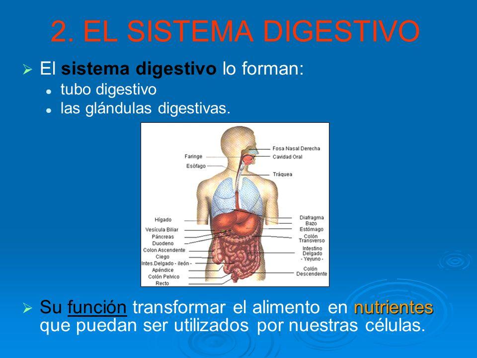 2. EL SISTEMA DIGESTIVO El sistema digestivo lo forman: