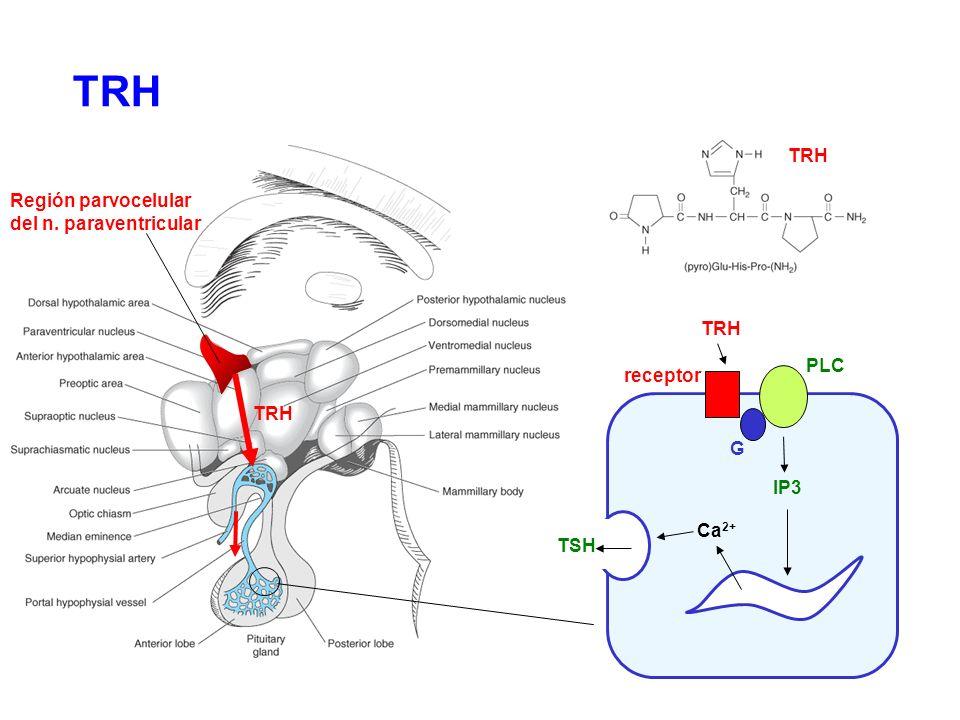 TRH TRH Región parvocelular del n. paraventricular TRH PLC receptor