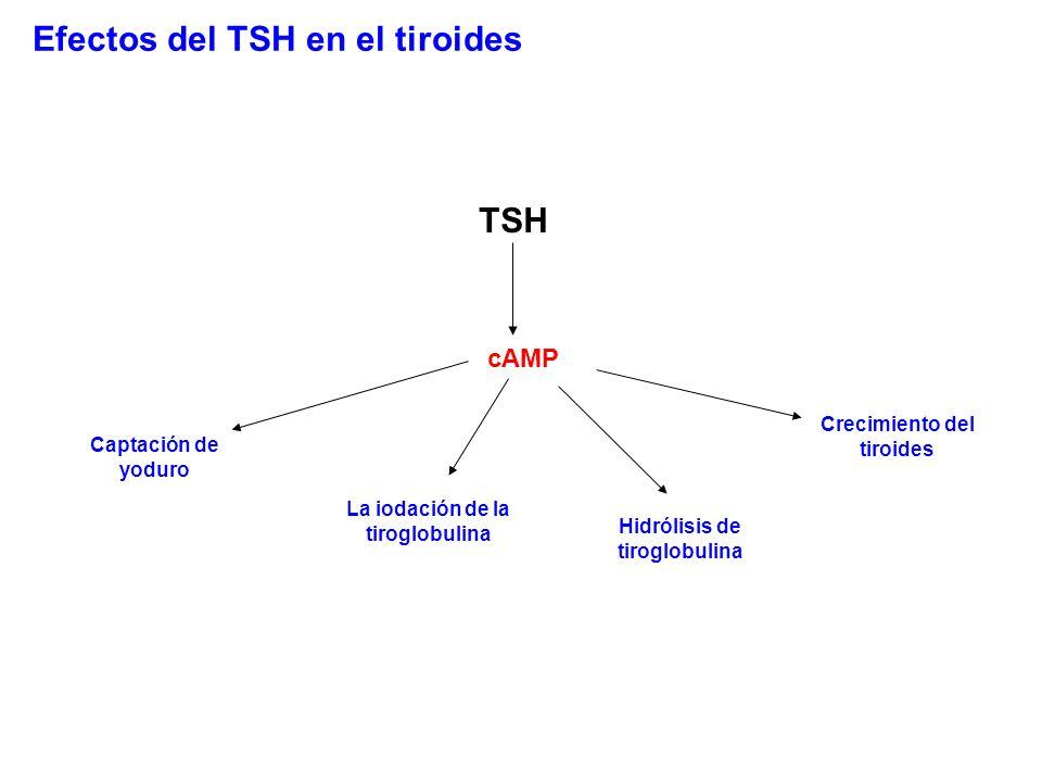 Efectos del TSH en el tiroides