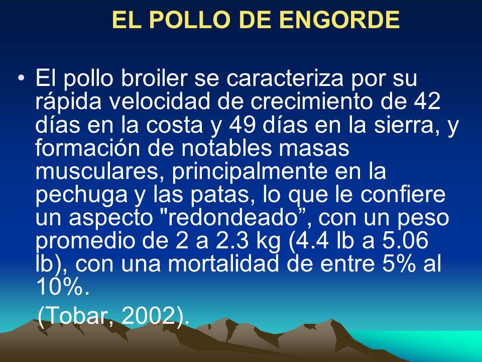 EL POLLO DE ENGORDE
