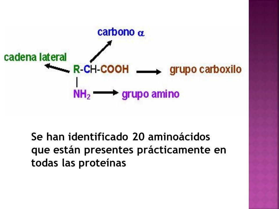 Se han identificado 20 aminoácidos que están presentes prácticamente en todas las proteínas