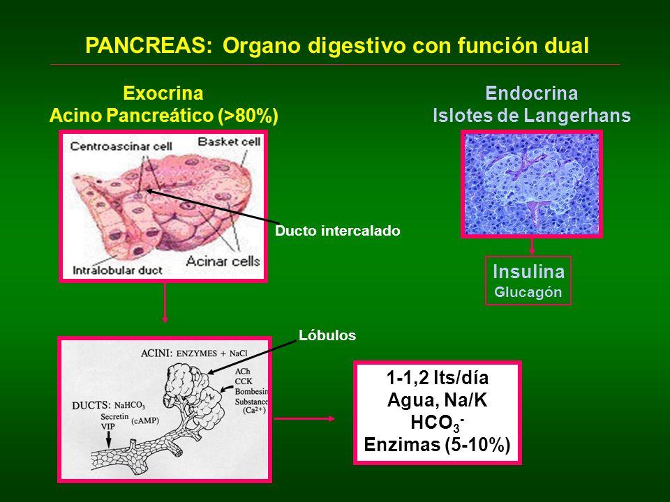 Acino Pancreático (>80%)