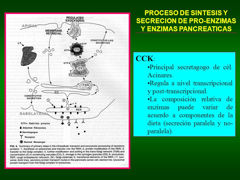 PROCESO DE SINTESIS Y SECRECION DE PRO-ENZIMAS Y ENZIMAS PANCREATICAS