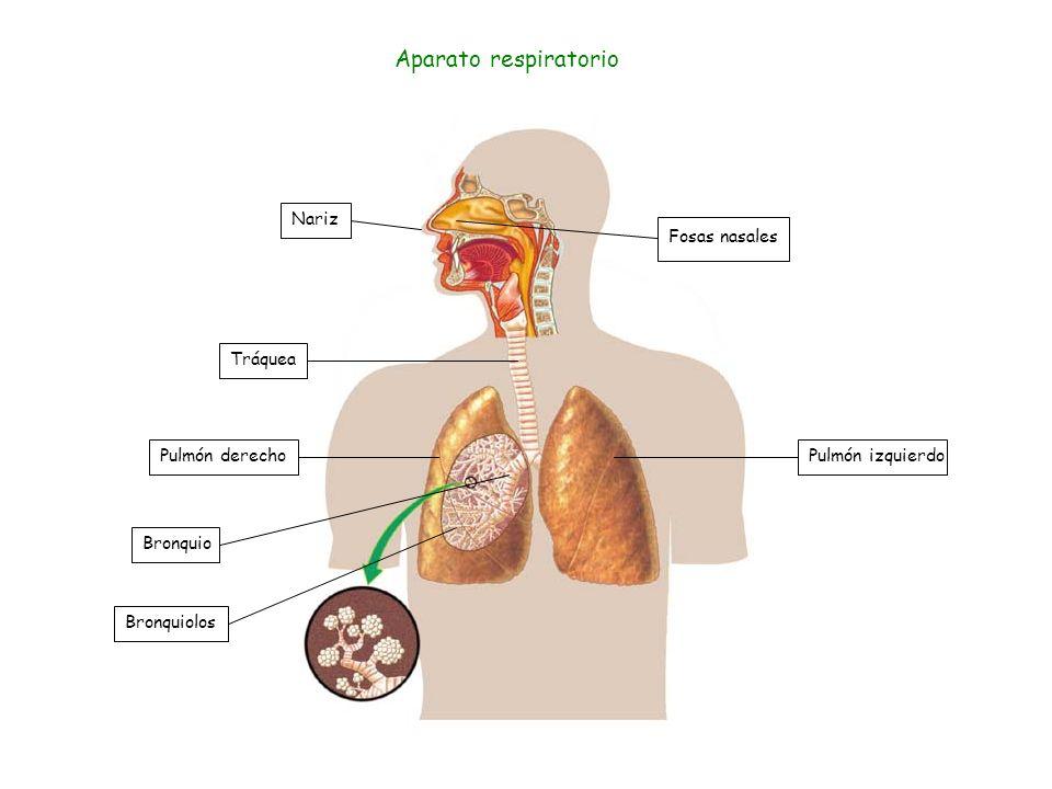 Aparato respiratorio Nariz Fosas nasales Tráquea Pulmón derecho
