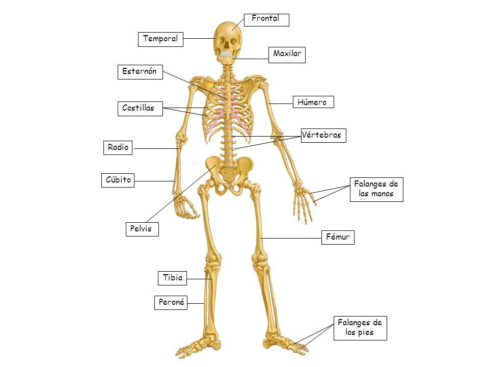 Frontal Temporal. Maxilar. Esternón. Húmero. Costillas. Vértebras. Radio. Cúbito. Falanges de las manos.