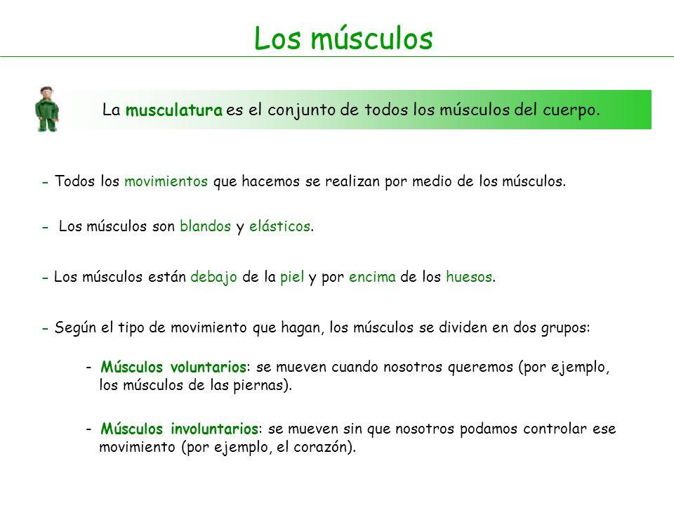 Los músculosLa musculatura es el conjunto de todos los músculos del cuerpo.