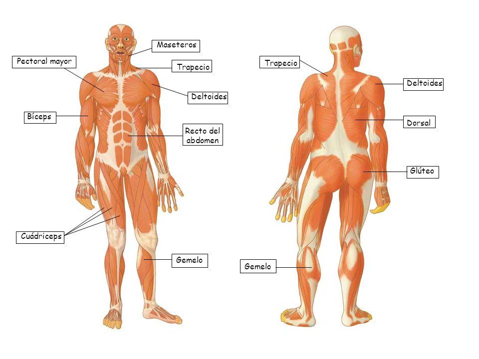 Maseteros Pectoral mayor. Trapecio. Trapecio. Deltoides. Deltoides. Bíceps. Dorsal. Recto del abdomen.