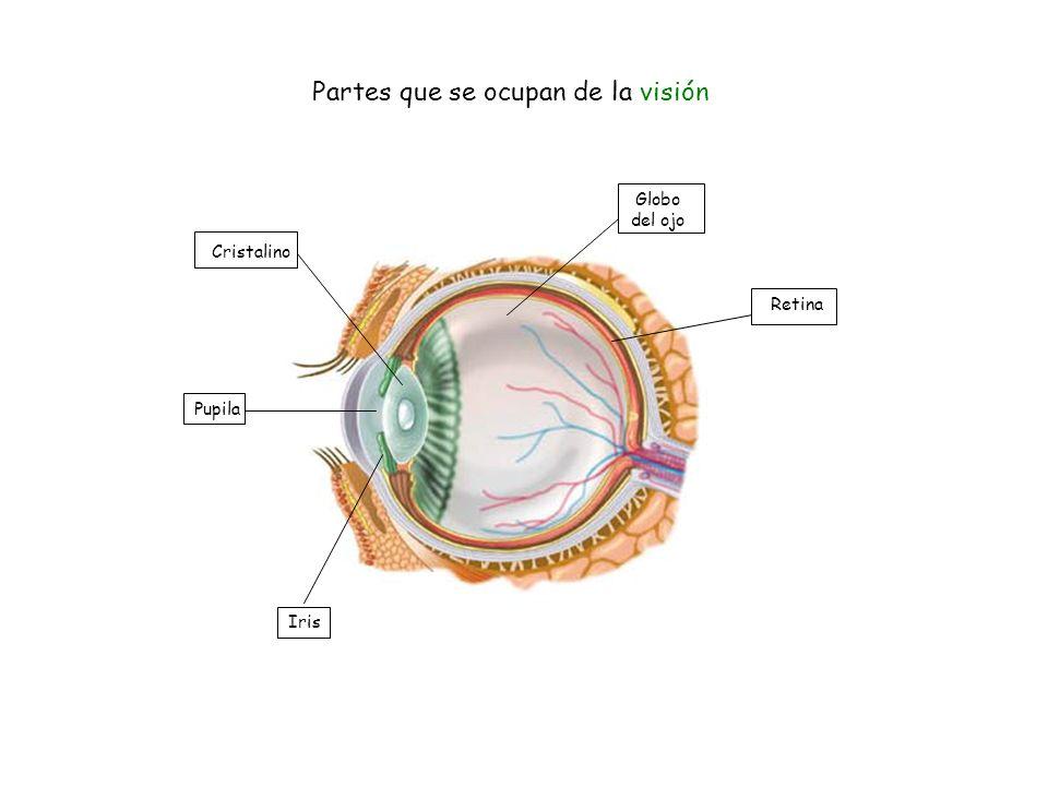 Partes que se ocupan de la visión