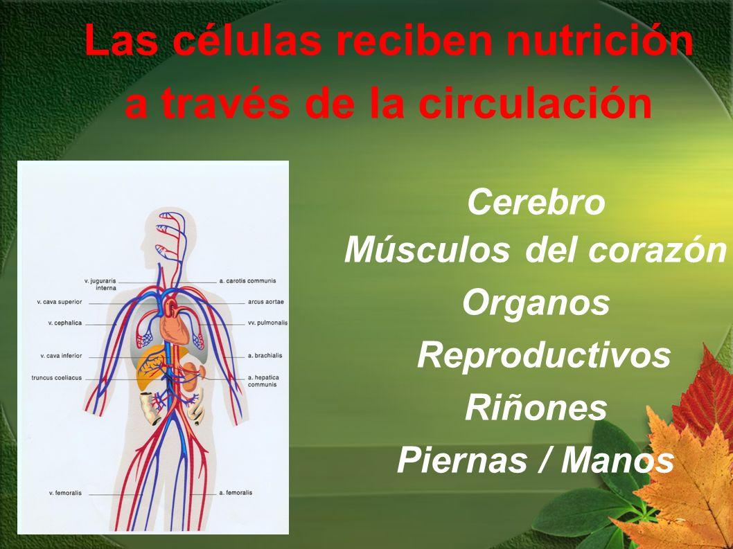 Las células reciben nutrición a través de la circulación