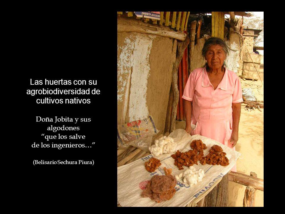 Las huertas con su agrobiodiversidad de cultivos nativos Doña Jobita y sus algodones que los salve de los ingenieros… (Belisario Sechura Piura)