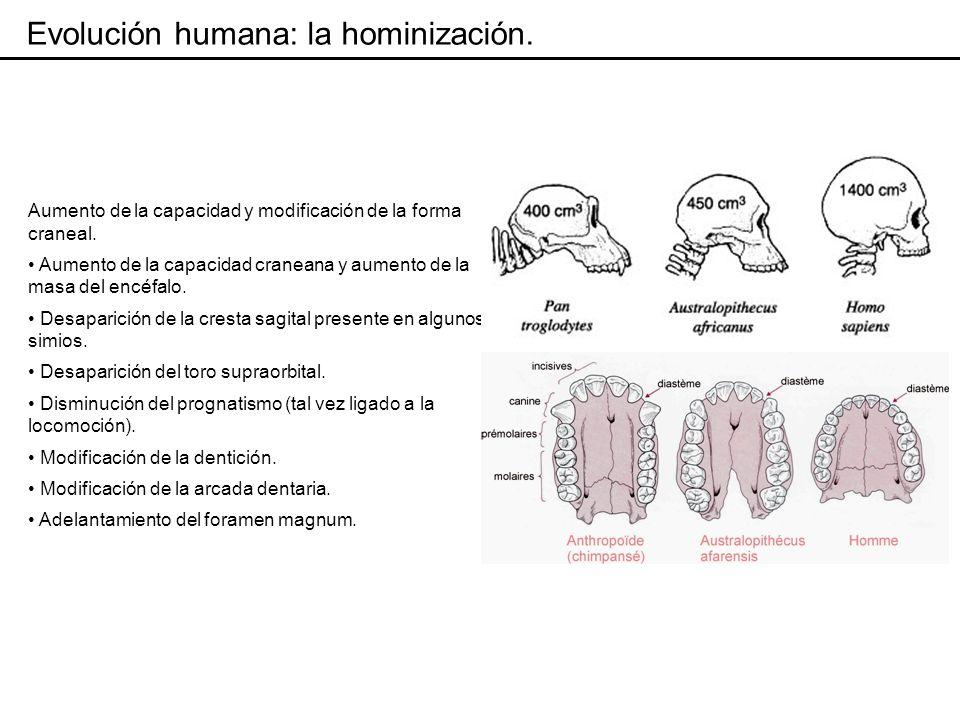 Evolución humana: la hominización.