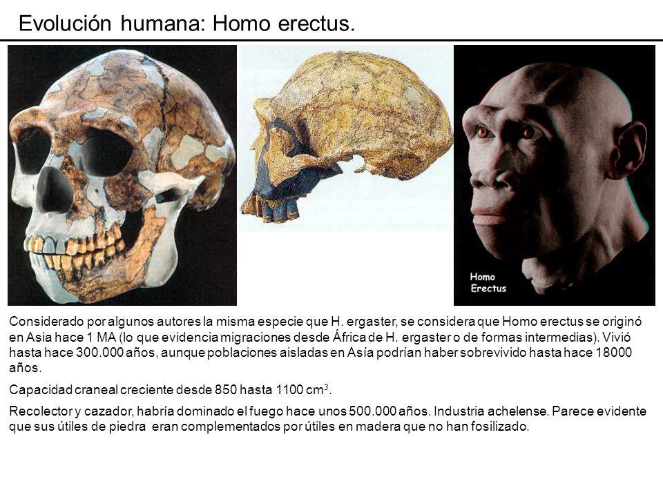 Evolución humana: Homo erectus.