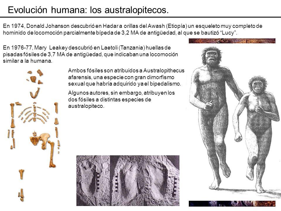 Evolución humana: los australopitecos.